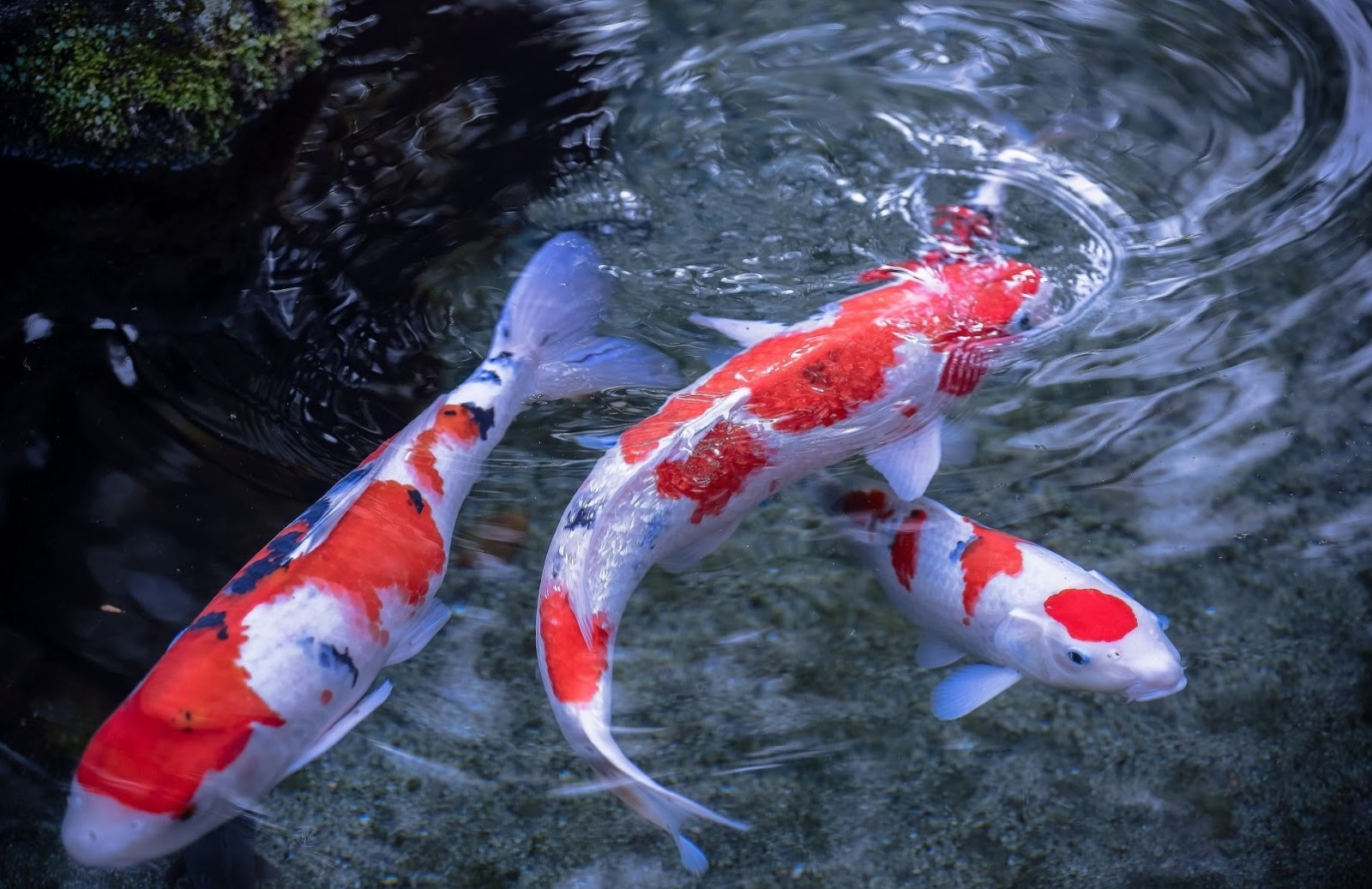Koi fish fishes world hd images free photos for Red and white koi fish