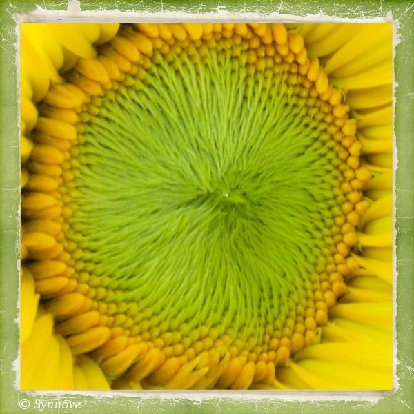 seraphina s phantasie die ersten sonnenblumen bl hen. Black Bedroom Furniture Sets. Home Design Ideas