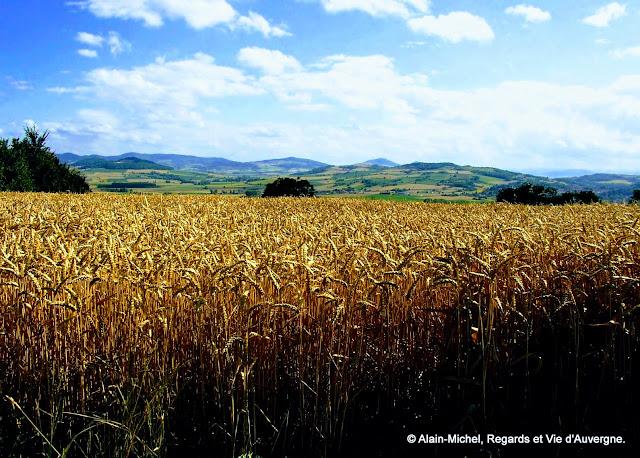 paysage d'été, blé