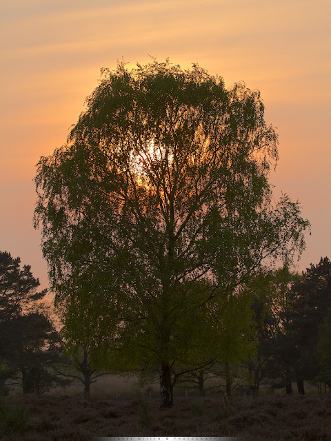 Zonsondergang door Berk - Sunset through Birch tree
