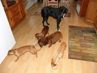 family, dogs, pets, Dachshund, black Lab