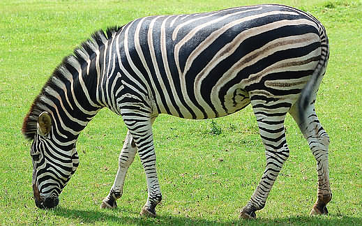 zebra pictures Size and weight Zebra Weight
