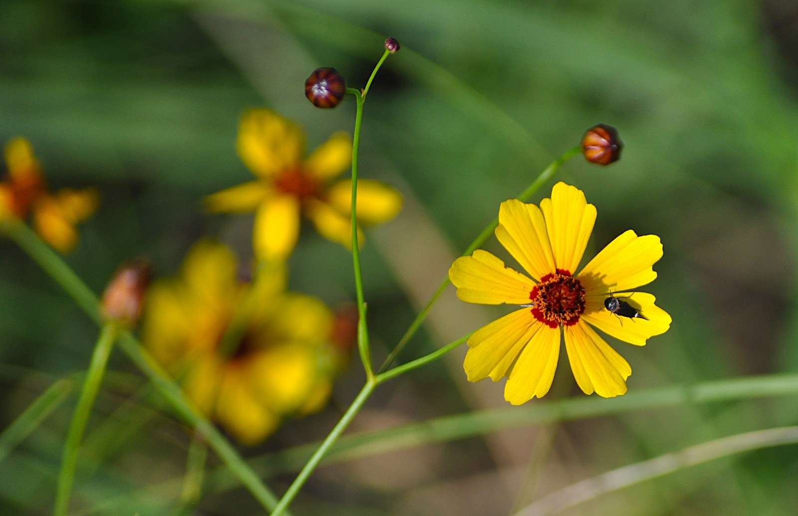Kansas wildflowers coreopsis in kansas mightylinksfo