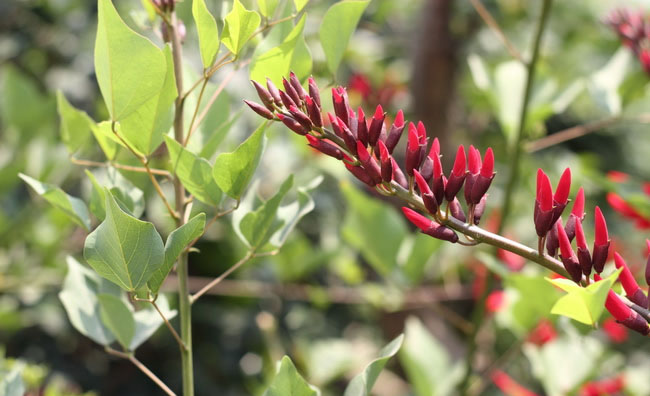 Coral Bean Flowers Pictures
