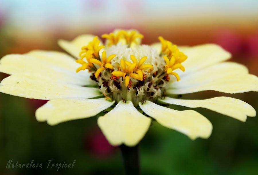 Flor conocida popularmente como Clavelón, planta del género Zinnia