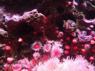 Fish hiding in pink coral