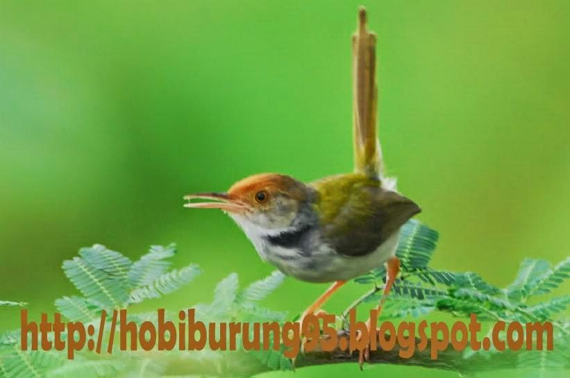 Cara Memelihara Burung dan Ikan | Jenis Burung Perenjak yang Bagus