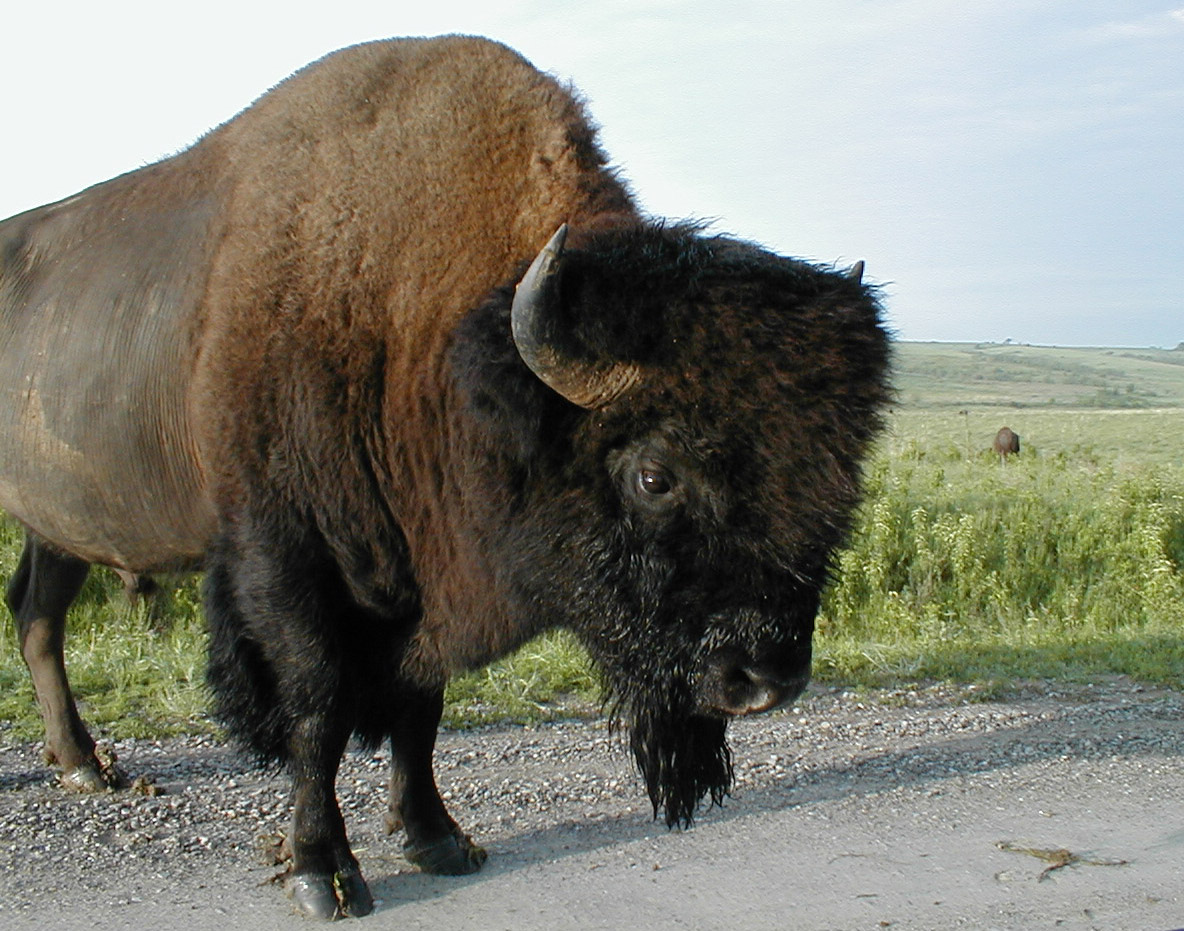 Welcome To Fun2shh World: Latest Bison Animal Wallpapers ...