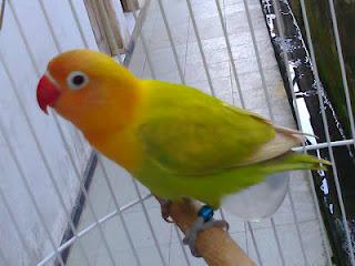 om hoby harga lovebird non klep kuning berdasarkan umur