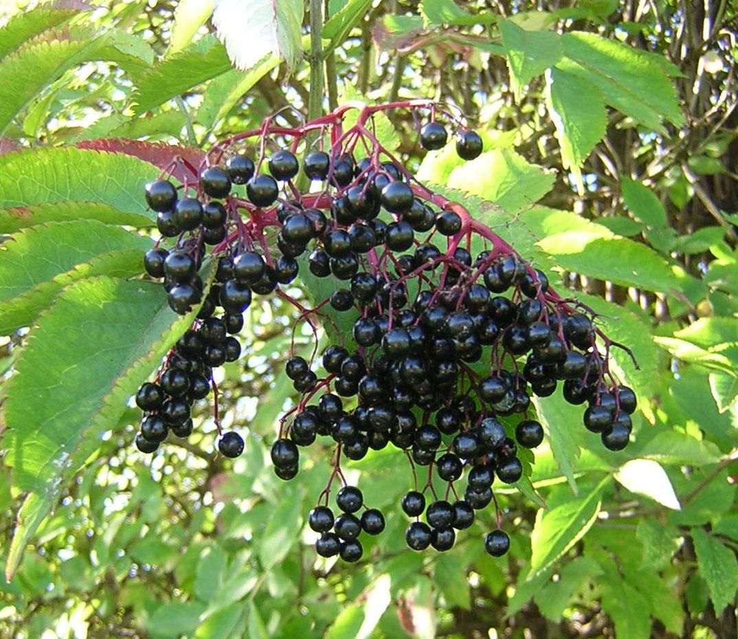 GAIA HERBS Echinacea Supreme Supplements 4 oz