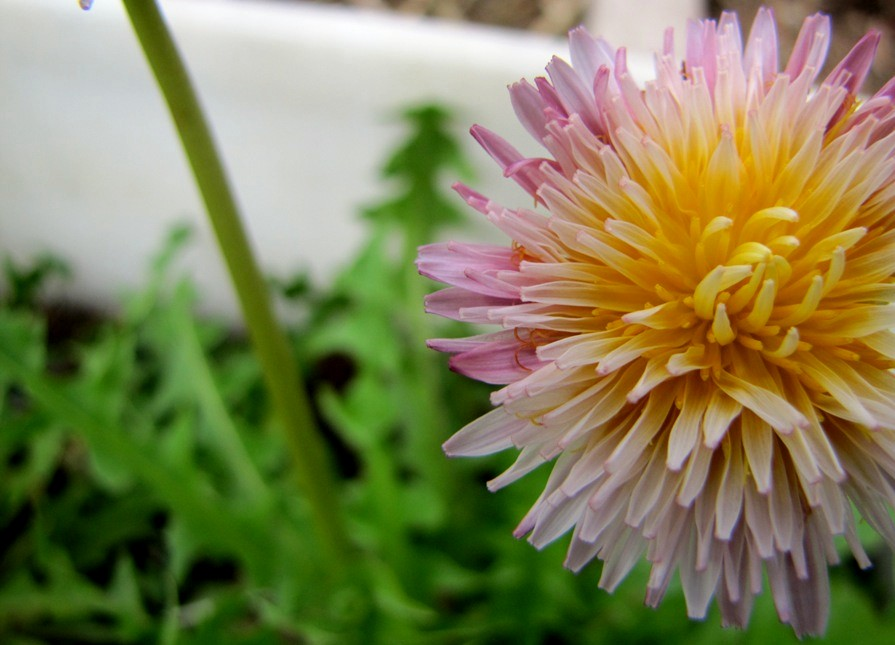 The dandelion has changed its colors to pink taraxacum pseudoroseum what about if a baby pink flower with soft yellow center popped up in your lawn how could that be so terriblebut dandelions are not white or mightylinksfo