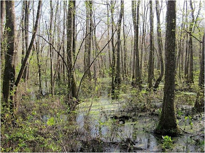Ebenezer Swamp Ecological Preserve, courtesy WikiMedia Commons.