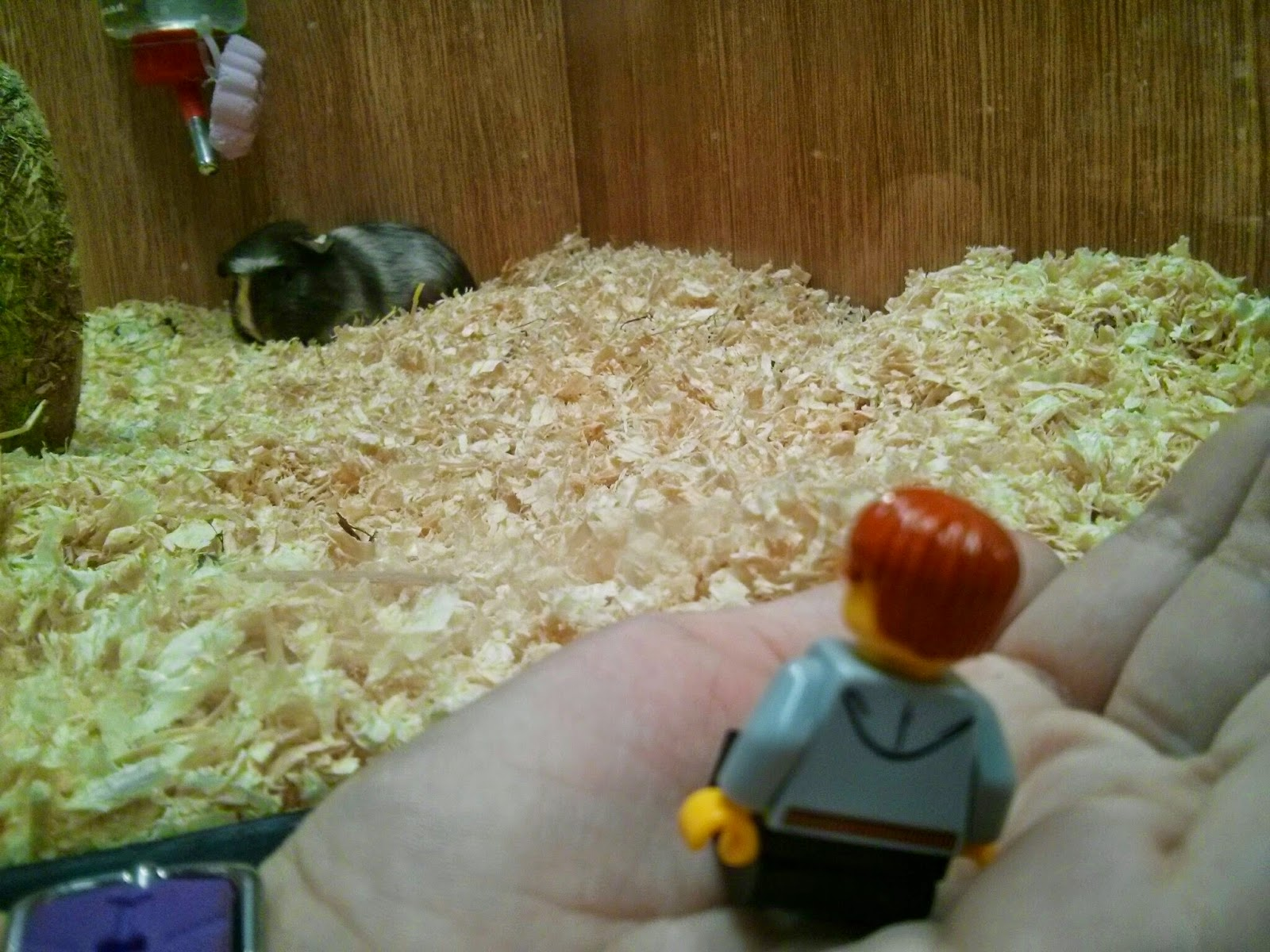 Kyle Emmett looking at Guinea Pigs