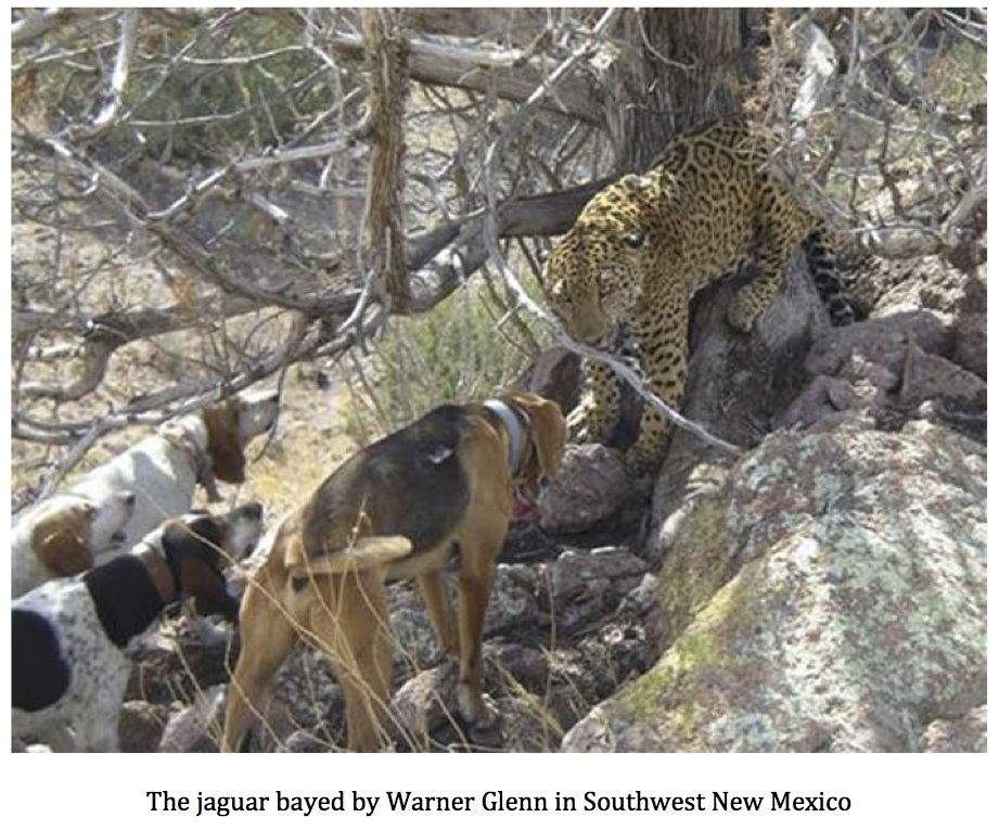 It Turns Out That Warner Glenn Is No Stranger To Jaguars. He Photographed  Another Jaguar In The Animas Mountains Of New Mexico Back In February Of  2006, ...