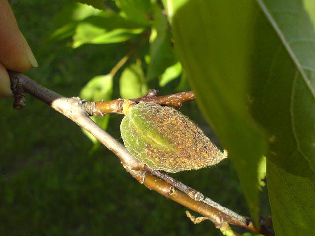 Plod meruňky poškozený mrazem