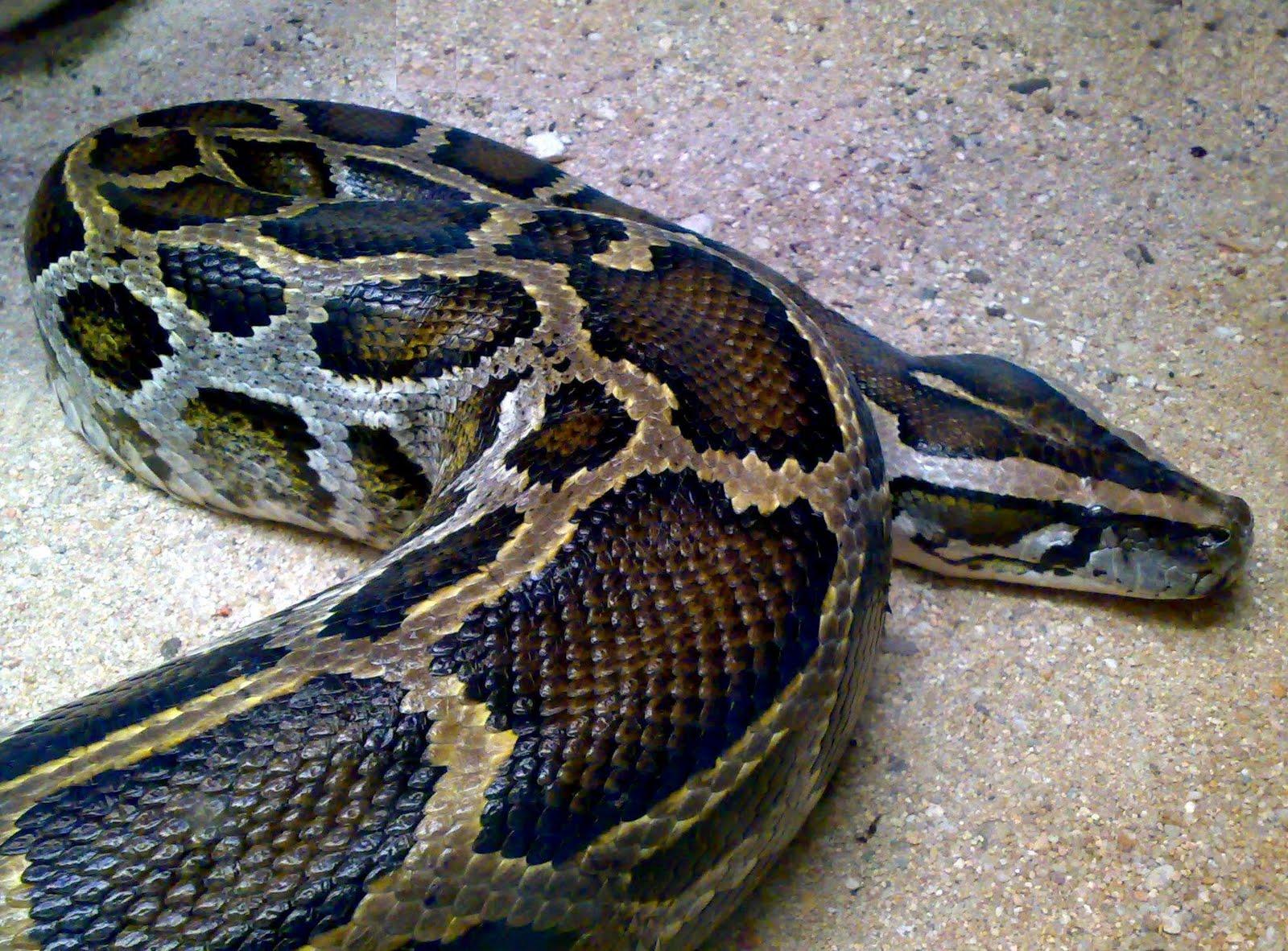 serpientes venenosas: junio 2011