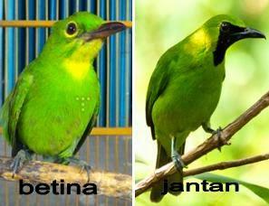 Foto Burung Cucak Ijo Jantan dan Betina Tips Memilih Cucak Hijau Nyaring