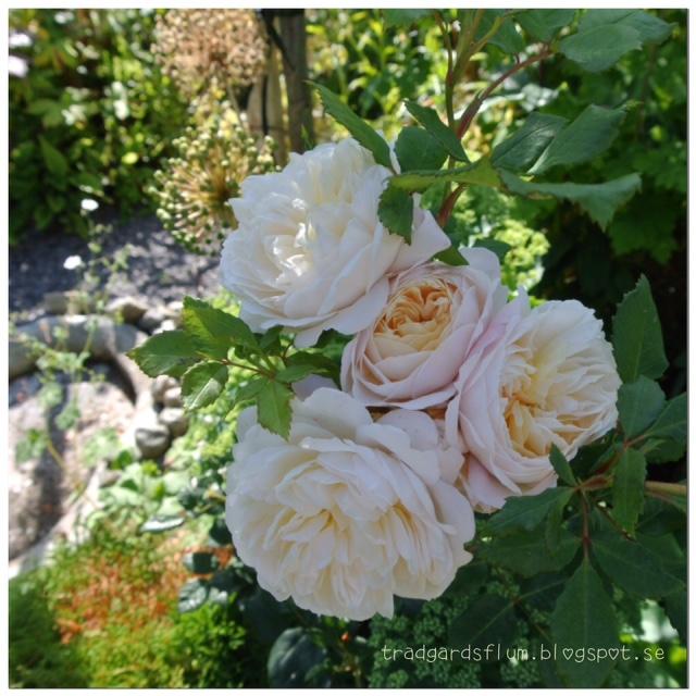 Mina älskade Austinrosor: Rosemoor, Wedgwood rose, Leander, Gentle Hermonie, Crocus rose Ema