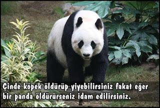 çinde panda