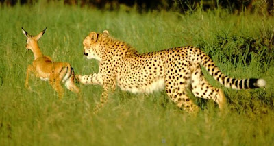 cheetah hunting youngantelope picture