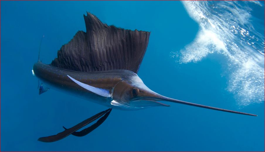 Sailfish - Wikipedia