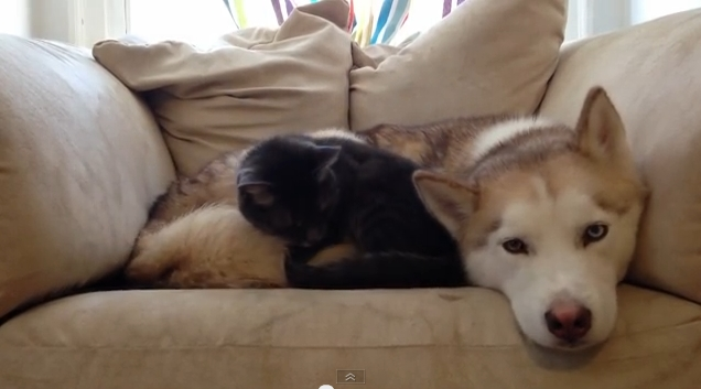 Farina the Cat Takes a Nap on Maeby the Siberian Husky (VIDEO)