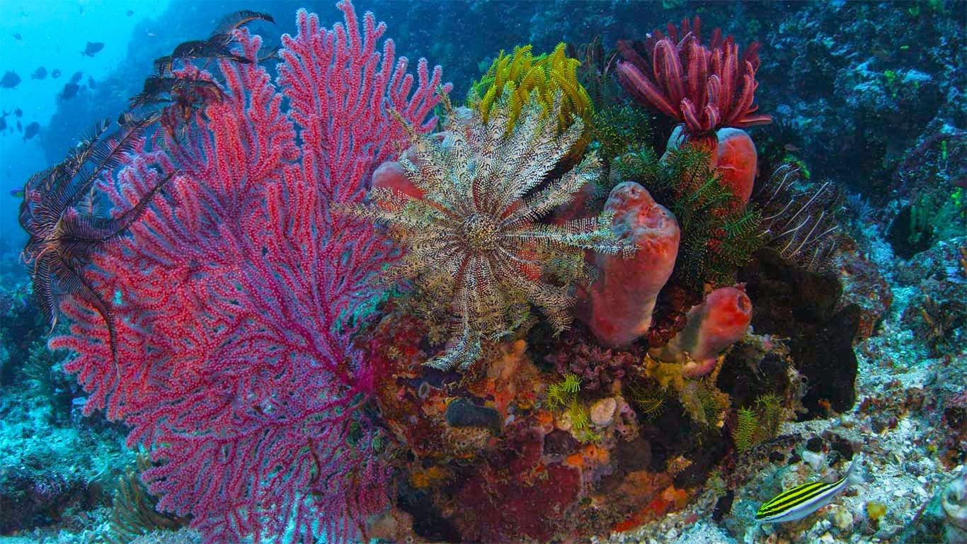 Gorgonian coral, crinoid, and sponges, Komodo National Park, Indonesia (© Mammoth HD) 202