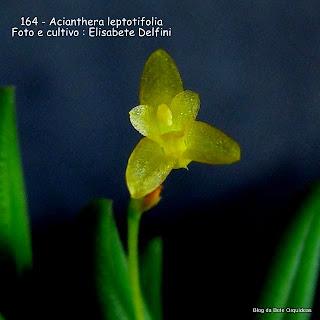Pleurothallis leptotifolia, Specklinia leptotifolia