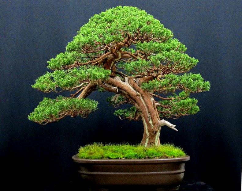 evoluzione bonsai forum bonsai lodi davide cardin