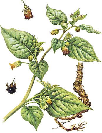deadly nightshade, belladonna, sorcerer's cherry, devil's herb, dwale, illustration