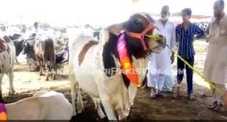 Cow Mandi 2015