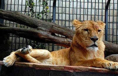 Había 8 leones en la propiedad