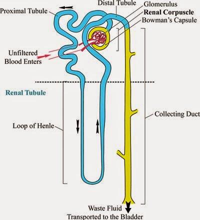 Kidney Tubules Anatomy
