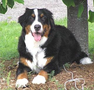 Swiss Mountain Dogs: Appenzeller, Entlebucher, Bernese, and Greater