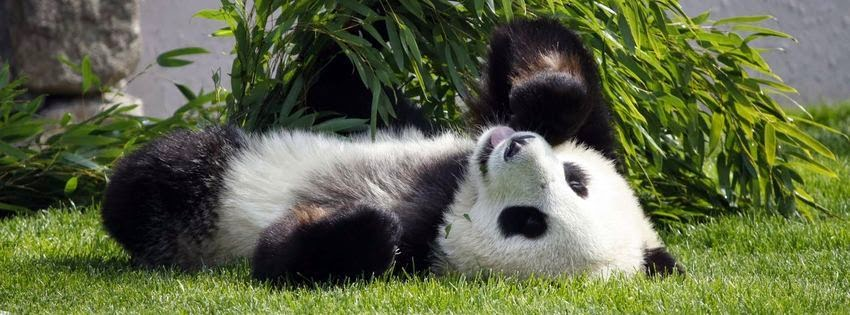Belle photo de couverture facebook panda