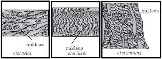 Perbedaan Otot Polos Lurik dan Jantung pada Manusia,
