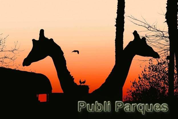 jirafas del zoo