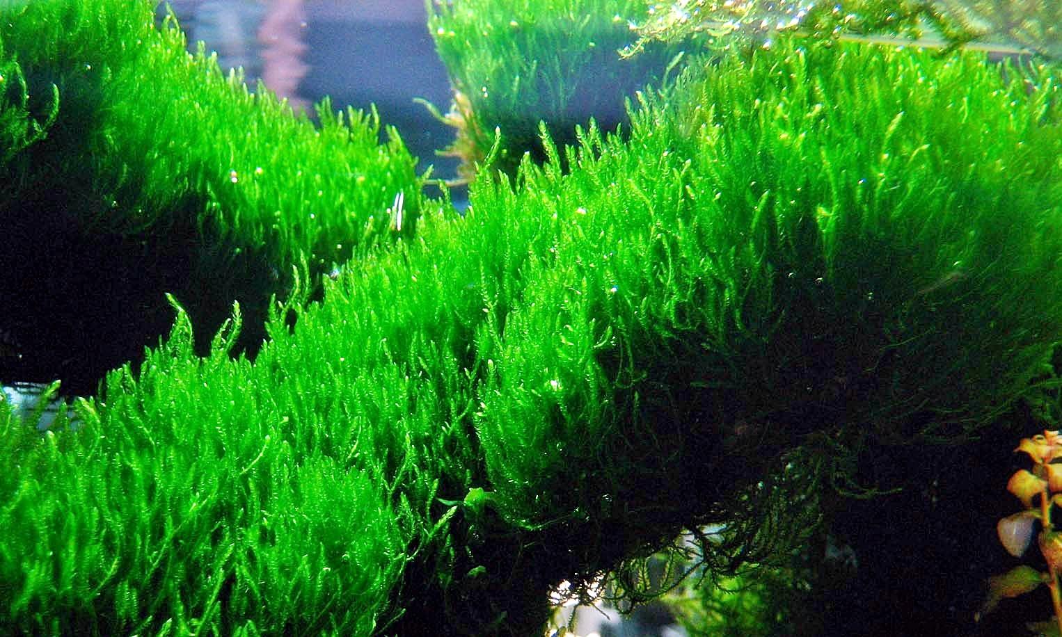 Tanaman aquascape : moss ~ Informasi Dunia Air