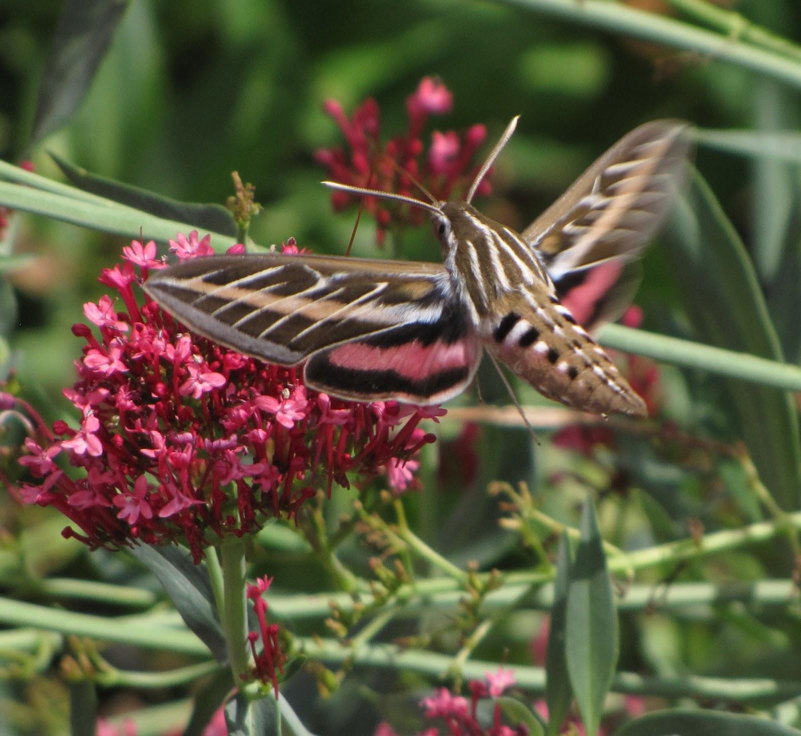 Bug eric white lined sphinx hummingbird moth mightylinksfo