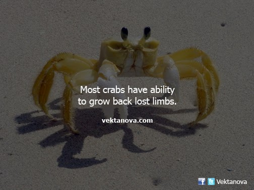 Most Crabs Have Abilitiy to Grow Back Lost Limbs