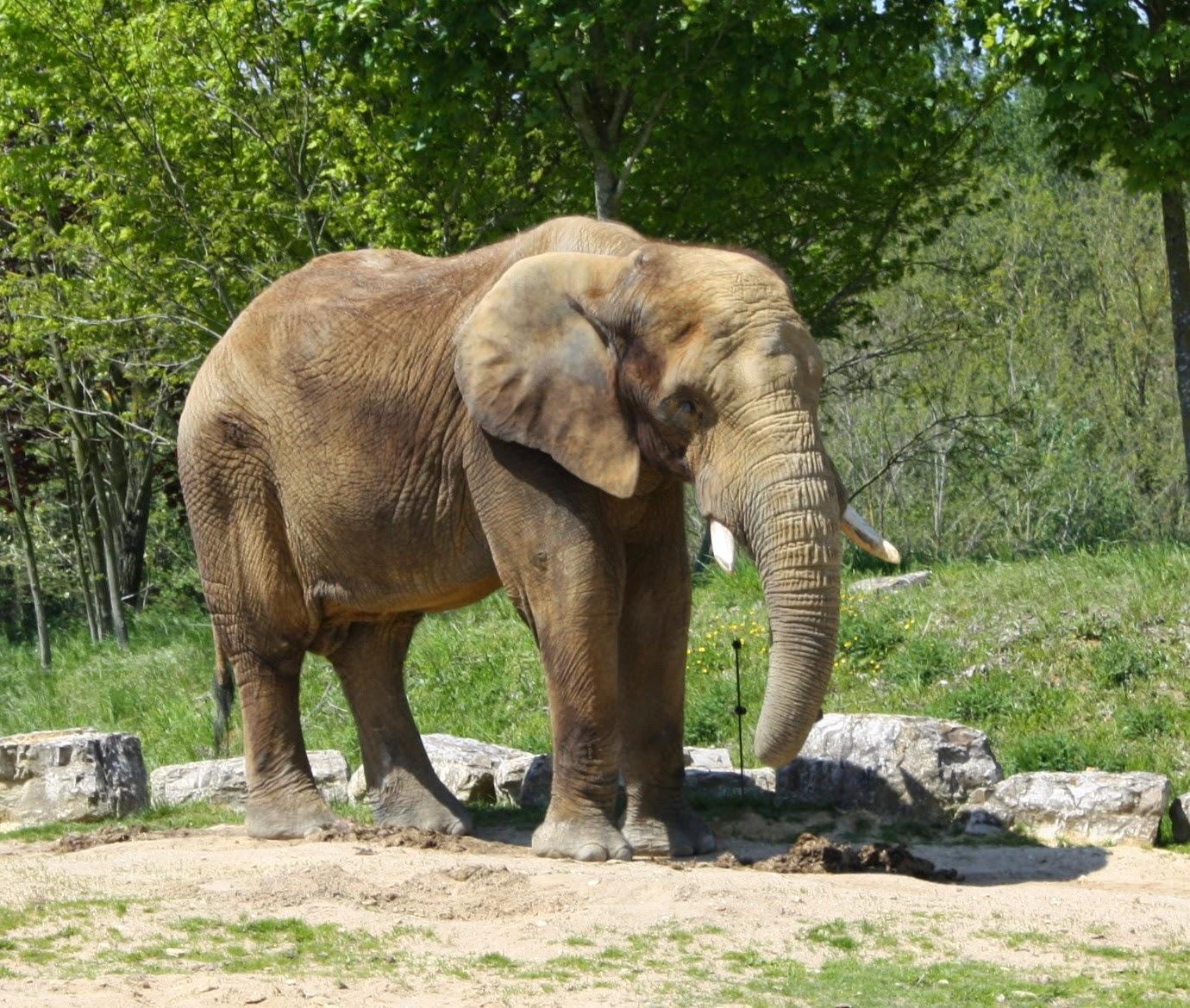 éléphant beauval