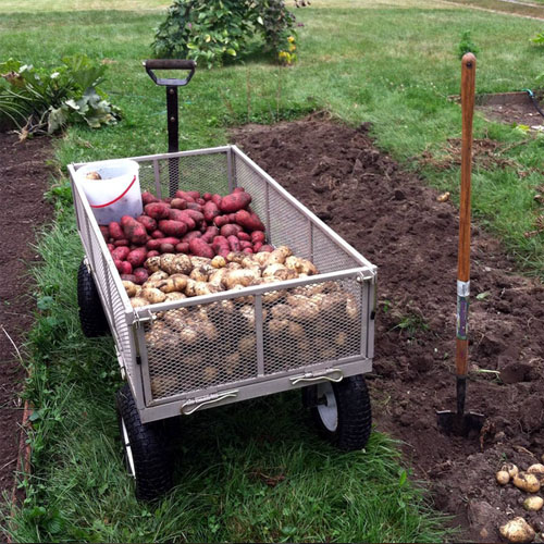 Foy Update: 'Adirondack Red' and 'German Butterball' Potato Harvest 2015