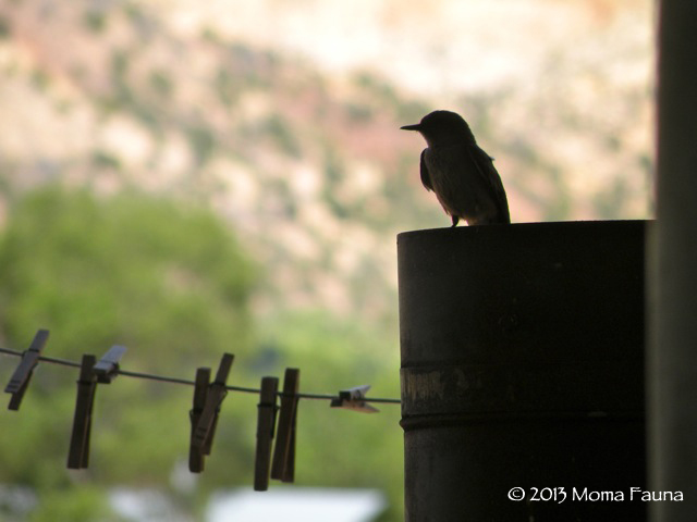 A Western Kingbird (Tyrannus verticalis) & devoted parent.