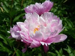 12th Anniversary Gift Peony Flower