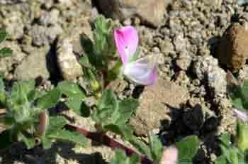 Ononis rotundifoglia (Ononide con foglie rotonde)