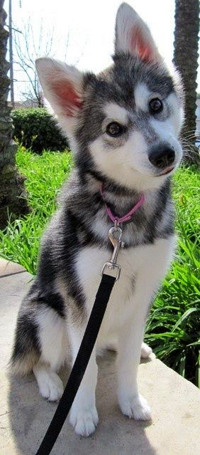 Alaskan Klee Kai. Kinda like a mini huksy. so cute! :