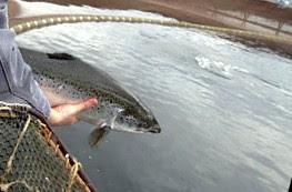 Salmon Ternak
