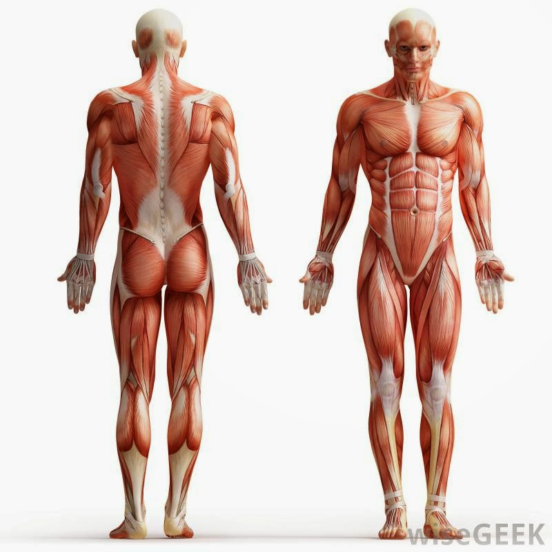 interesting facts about the human body : muscular system, Muscles