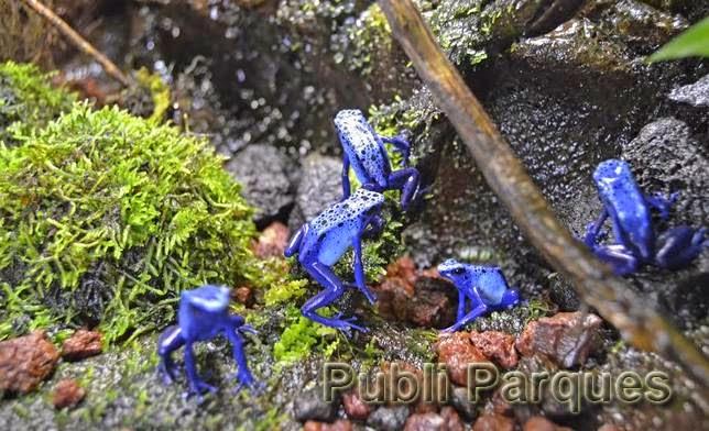 Rana de veneno azul en Bioparc Valencia