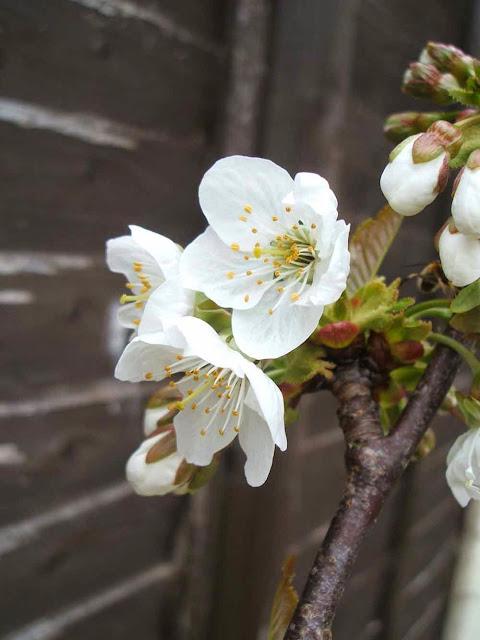 cherry blossom in full bloom in spring